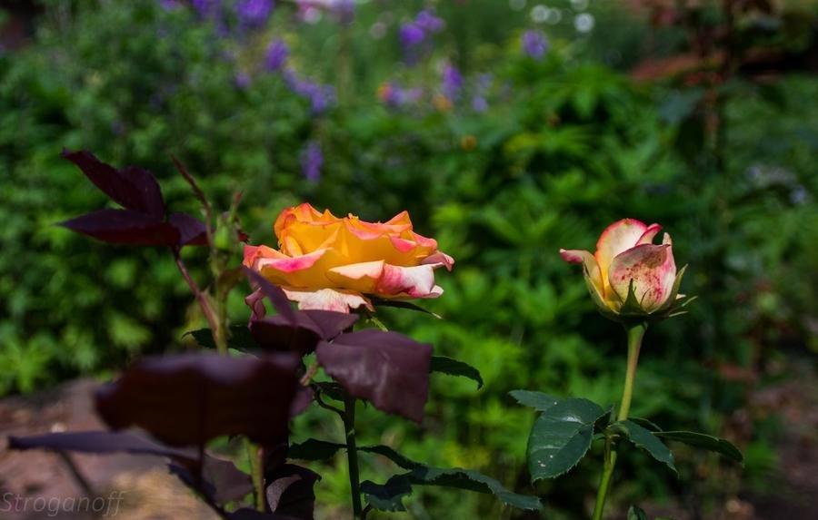 Minolta AF Zoom 24-85mm f/3,5-4,5